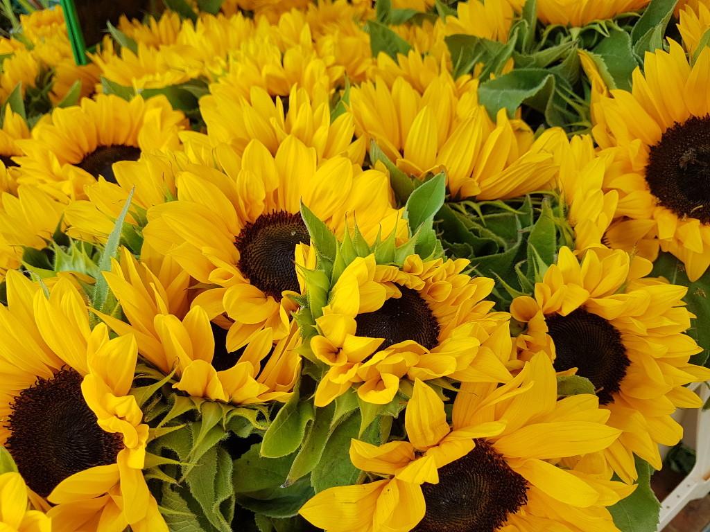 Strahlen mit der Sonne um die Wette - die Sonnenblumen